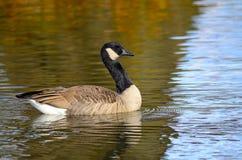 Free Canada Goose Stock Photo - 17883530