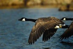 Canada goose. Zellsee Bavarian; spring Royalty Free Stock Photos
