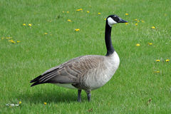 Canada Goose. (Branta canadensis) at Rolling Meadows in Illinois, USA Stock Photos