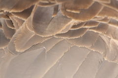 Canada goose. Close up of a canada goose back feathers Stock Photos