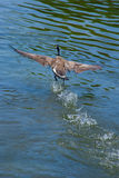 Canada goose Stock Photography