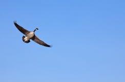 Free Canada Goose Stock Photo - 22959740
