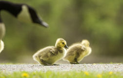 Canada Goose goslings Stock Images