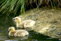 Free Canada Goose Royalty Free Stock Photo - 2499225