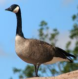 Canada Goose. A Canada goose standing on a rock Royalty Free Stock Photo