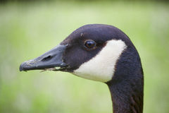Canada Goose. Head shot of a Canada Goose. Image shows the beak, eyes and upper neck of the bird. The bird has just been rooting for food, so there is grass Stock Photo