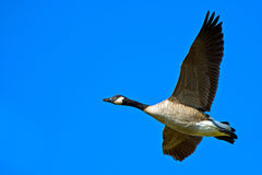 Free Canada Goose Royalty Free Stock Photos - 26389148