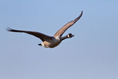 Canada Goose. Flying in a Blue Sky Royalty Free Stock Image
