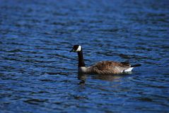 Canada goose. Swimming in lake Stock Photography