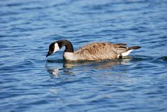 Free Canada Goose Royalty Free Stock Photography - 2975027