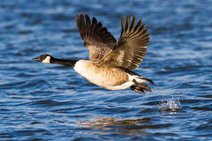 Free Canada Goose Royalty Free Stock Image - 31416846
