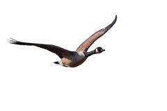 Free Canada Goose Royalty Free Stock Photo - 32991825