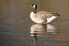 Canada goose. Lone Canada Goose reflected in River Thames UK Royalty Free Stock Photo