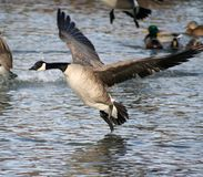 Canada Goose. A Canada goose making a landing in a lake Stock Photo
