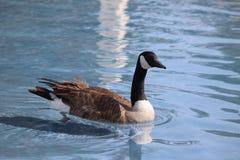 Free Canada Goose Stock Photo - 40245490
