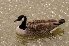 Free Canada Goose Royalty Free Stock Images - 4616709