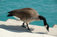 Canada Goose. A breed of goose known as Canada Goose. The scientific name is Branta canadensis royalty free stock images