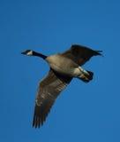 Canada Goose. Flying Canada goose (Branta canadensis Stock Photo