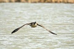 Canada goose Stock Image