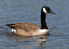 Canada Goose. An image of a canada goose in profile on a pond in Richmond Park Stock Photos