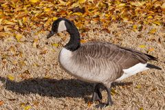 Canada goose amongst autumn leaves stock photo