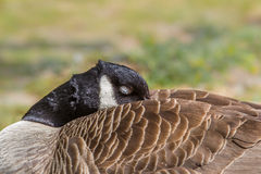 Canada Goose asleep Royalty Free Stock Photo