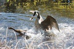 A Canada goose attacking a mallard Royalty Free Stock Image