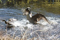 A Canada goose attacking a mallard Stock Images