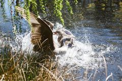 A Canada goose attacking a mallard Royalty Free Stock Photography