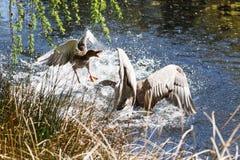 A Canada goose attacking a mallard Royalty Free Stock Photo