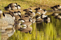 Canada Goose in autumn Stock Photos