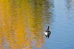 Canada Goose on an Autumn Golden Pond Royalty Free Stock Photography