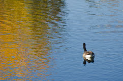 Canada Goose on an Autumn Golden Pond Stock Image