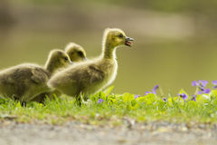 Canada Goose babies Stock Image