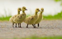 Canada Goose babies Stock Photos