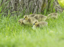 Canada Goose babies Royalty Free Stock Photo