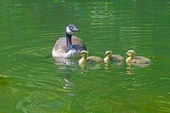 Canada Goose babies swim next to mom. Royalty Free Stock Photo
