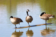 Canada Goose Ballet. Canada geese practice ballet at an Oakville Ontario pond Royalty Free Stock Images