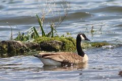 Canada Goose on the bay Royalty Free Stock Photo