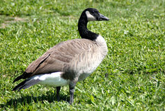 Canada Goose besides community lake, California, Branta canadensis Royalty Free Stock Photos