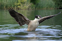 Canada goose bird royalty free stock photo