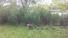 Canada Goose Birds with Babies on Lawn with Puddles in Newark, NJ. Stock Photo