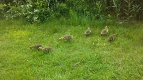 Canada Goose Birds with Babies on Lawn with Puddles in Newark, NJ. Stock Image