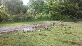 Canada Goose Birds with Babies on Lawn with Puddles in Newark, NJ. Royalty Free Stock Photography
