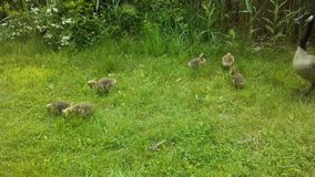 Canada Goose Birds with Babies on Lawn with Puddles in Newark, NJ. Royalty Free Stock Photo
