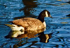 Canada goose in blue water lake. A Canada goose smoothly swimming in a local London lake in a park royalty free stock images