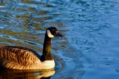 Canada goose in blue water lake. A Canada goose smoothly swimming in a local London lake in a park stock photo