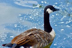 Canada goose in blue water lake. A Canada goose smoothly swimming in a local London lake in a park royalty free stock photo