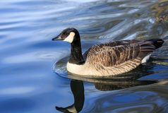 A Canada goose in blue water Royalty Free Stock Images
