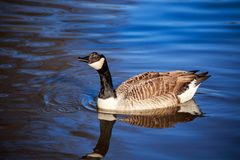 A Canada goose in blue water Royalty Free Stock Photography